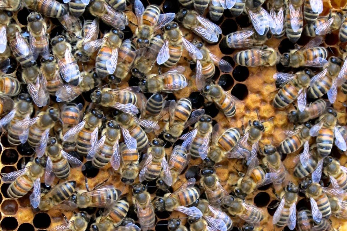Alles über Buckfastbienen